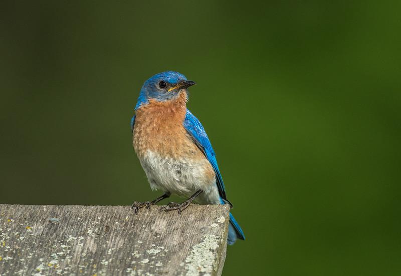 Male Eastern Bluebird on nest box