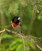 Male Rose-breasted Grosbeak