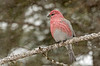 Pine Grosbeak in falling snow