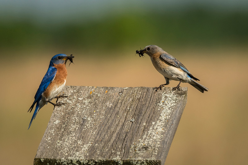 Bluebird pair with breakfast