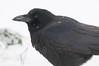 APR-11009: American Crow (Corvus brachyrhynchos)