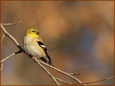 A2$Cuchara$Tom$Male_Yellow_Finch$2010-04