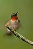 APR-11072: Male Ruby-throated Hummingbird ruffling feathers