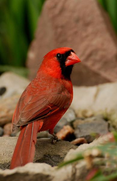 APR-6053: Male Northern Cardinal (Cardinalis cardinalis)