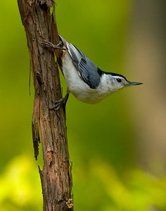 NutHatch_4758 printed 11x14