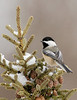 APR-6170: Black-capped Chickadee (Parus atricappilus)