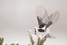 APR-11037: Chickadee taking flight (Parus atricapillus)