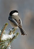 APR-9011: Black-capped Chickadee on winter perch (Parus atricappilus)