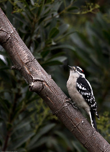 Downy Woodpecker_Ventura_CA-2932