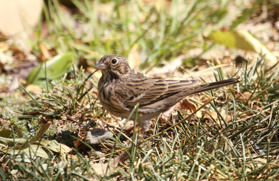 Vesper Sparrow_Ventura Co_CA_10-6-2013-3480