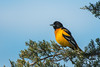 Baltimore Oriole on Cedar tree