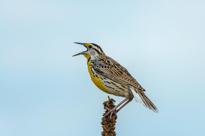 Eastern Meadowlark territorial call