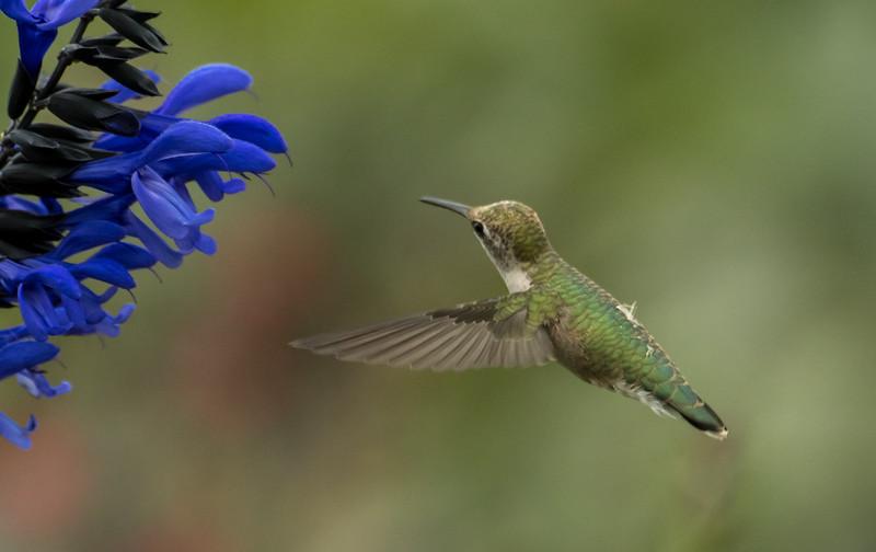 Hummingbird after Salvia