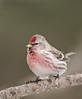 APR-9197: Hoary Redpoll (Carduelis hornemanni)