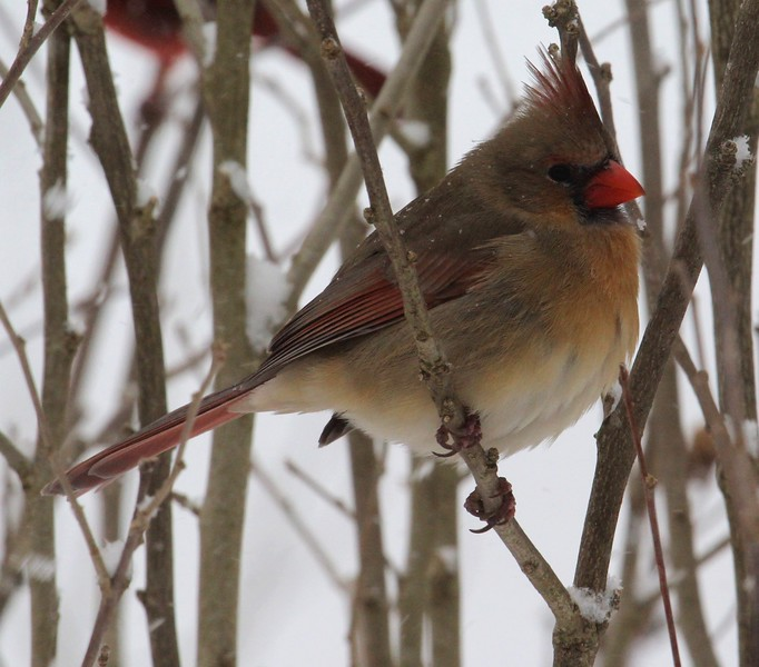 Female Cardinal - Jan. 2016