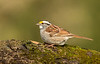 White-Throated Sparrow on moss log