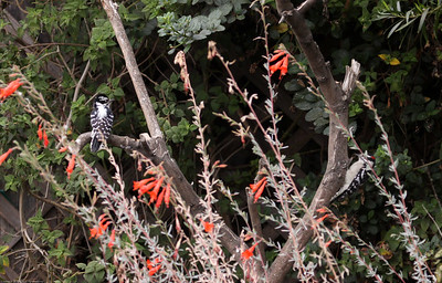 Downy Woodpecker_Ventura_CA-2903