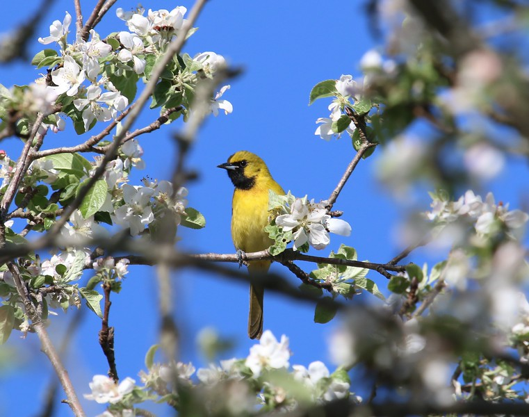 First year Orchard Oriole 5-2-17