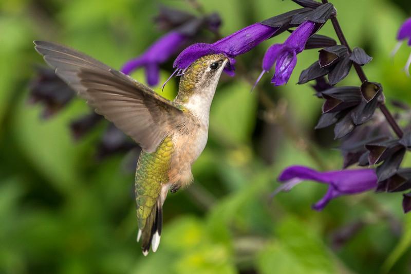 Hummingbird getting lunch