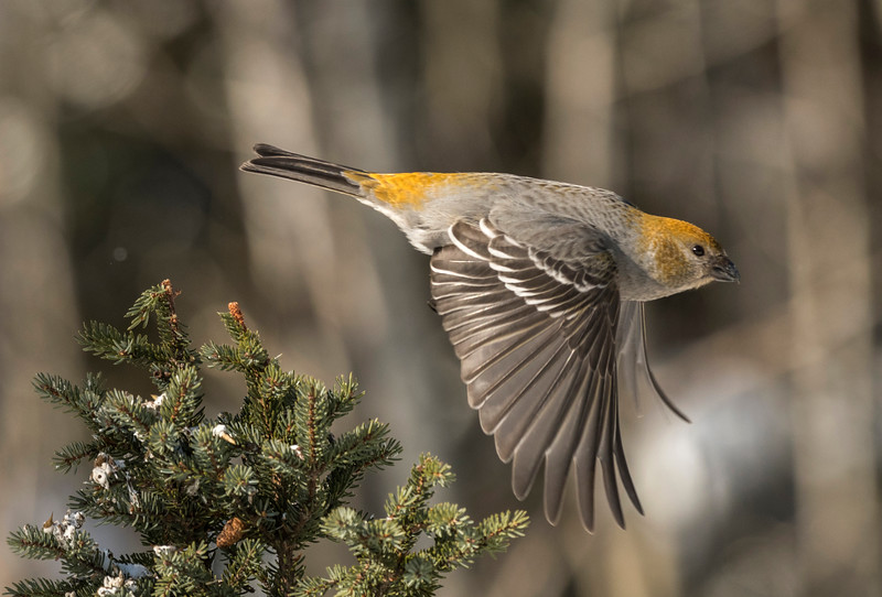 Female Pine Grosbeak in flight