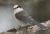 APR-9162: Gray Jay in winter (Perisoreus canadensis)
