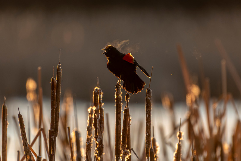 Backlit calling Red-winged Blackbird