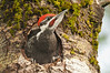 APR-12069: Male Pileated ready to fledge (Dryocopus pileatus)