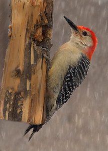 C37-030206_0408PM-0961 red bellied woodpecker in snow printed 5x7 ver3