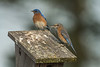 Bluebirds nest building