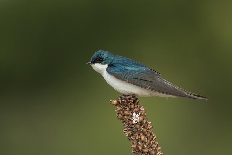 Tree Swallow on mullein