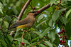 Cedar Waxwing with lunch