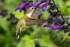 Ruby-throated Hummingbird in Salvia