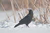 APR-11060: American Crow in winter (Corvus brachyrhynchos)