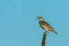 Eastern Meadowlark territorial calling