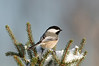 APR-9023: Black-capped Chickadee (Parus atricappilus)