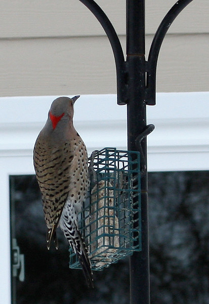 Kelly took this photos of a Northern Flicker in our yard - Feb 13, 2010