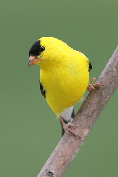 Goldfinch, male  summer coat