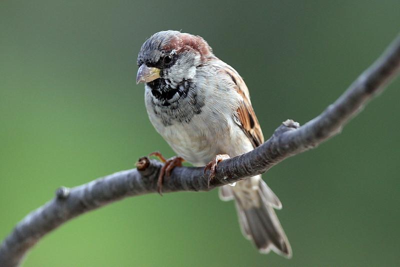 House Sparrow, male