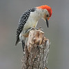 Red Bellied Woodpecker, male