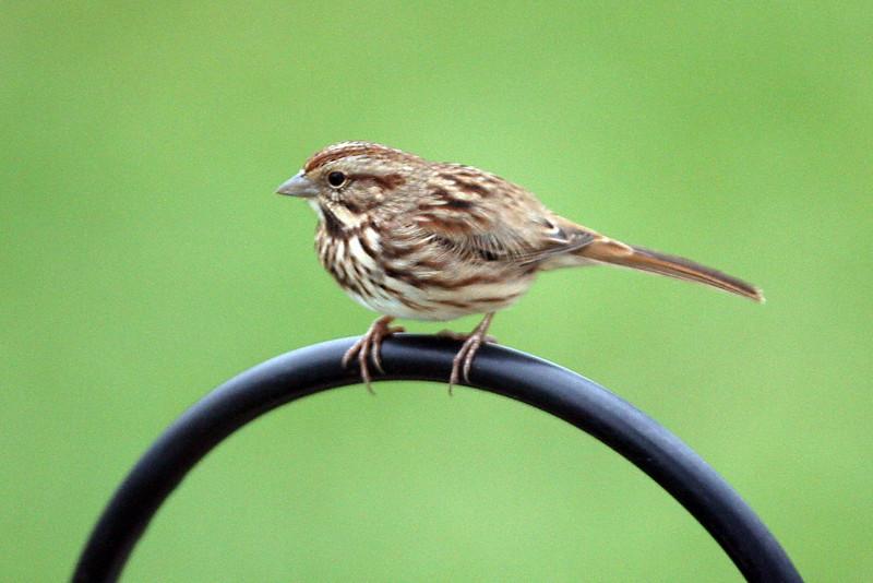 Sond Sparrow
