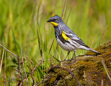 Yellow-rumped Warbler, male (Audubon variety)