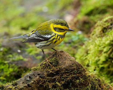 Townsend's Warbler, contemplating?