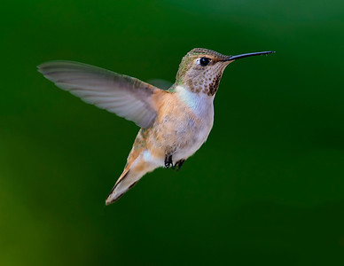 Rufous Hummingbird , female