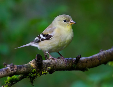 American Goldfinch, young male???