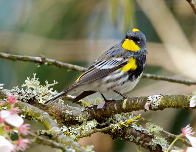 Yellow-rumped Warbler, Audubon form.