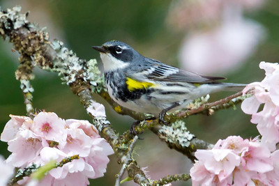 Yellow-rumped Warbler, Myrtle form.