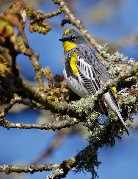 Yellow-rumped Warbler, male (Audubon variety) in tree