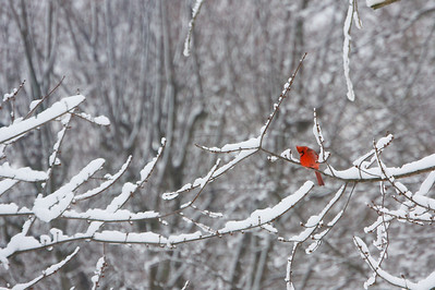 Cardinal on snowy branch Copyright 2010, Tom Farmer
