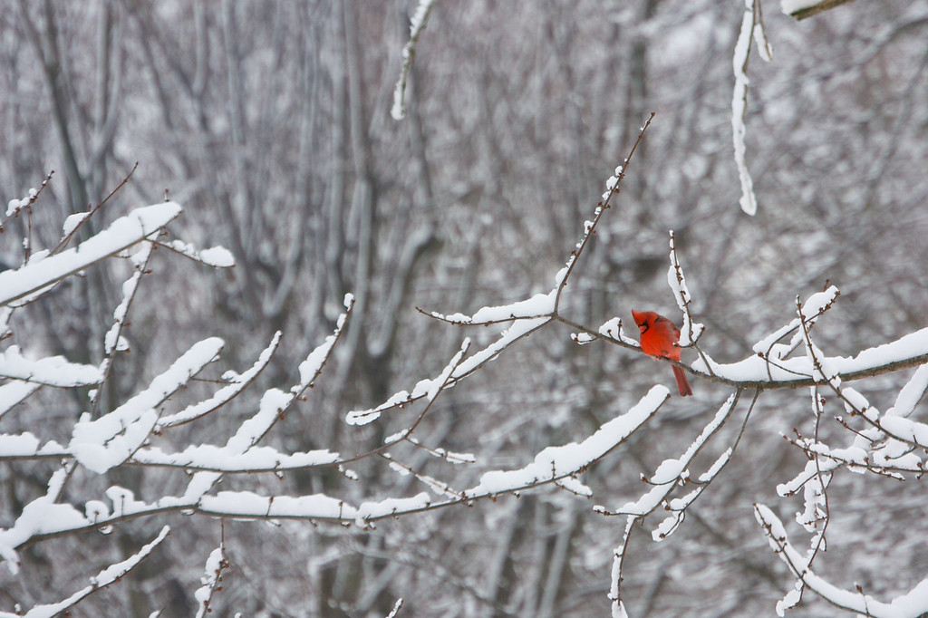 Cardinal on snowy branch<br /> Copyright 2010, Tom Farmer