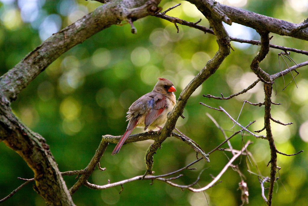 Baby Cardinal<br /> Copyright 2010, Tom Farmer